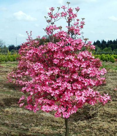 Red Dogwood Tree - Cornus florida 'Cherokee Chief' for Sale - Brighter Blooms Nursery