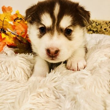 Litter Of 7 Siberian Husky Puppies For Sale In Kaysville Ut Adn