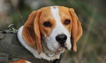 Dog Breeds Doggy Wiki En 2020 Perro Beagle Beagle Sabueso