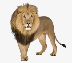 Lion Png And Psd Lion Pictures Wild Animals Pictures Lion Images