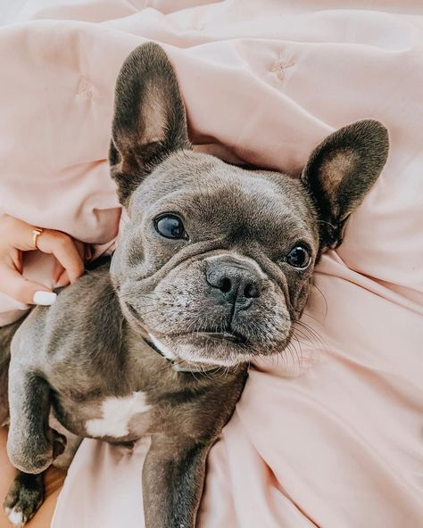 """Awesome """"french bulldog puppies"""" information is available on our website. Have a look and you wont be sorry you did. Super Cute Puppies, Cute Little Puppies, Cute Little Animals, Cute Dogs And Puppies, Cute Funny Animals, Doggies, Baby Animals Pictures, Cute Animal Photos, Cute French Bulldog"""