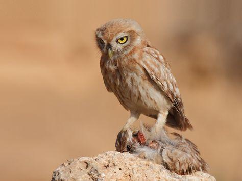 Little Owl (Athene noctua) exhibiting cainism. Photo by Assaf Gavra.