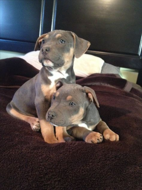 Tri Color Pit Bulls Are One Of The Prettiest Dogs In My Opinion