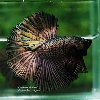 Ohm Copper Gold Competition Grade For Sale 50 Usd By Nice Betta Thailand Www Nicebettathailand Com Nicebettathailand Betta Betta Fish Breeding Betta Fish