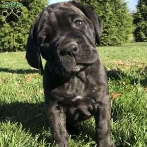 Cane Corso Puppies For Sale Cane Corso Dog Breed Info Greenfield Puppies In 2020 Cane Corso Puppies Cane Corso Dog Corso Dog