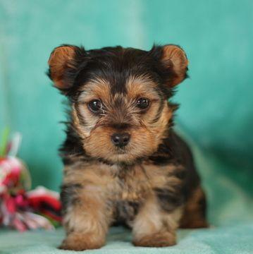 Yorkshire Terrier Puppy For Sale In Gap Pa Adn 63436 On Puppyfinder Com Gender Female Yorkshire Terrier Puppies Yorkie Yorkshire Terrier Yorkshire Terrier