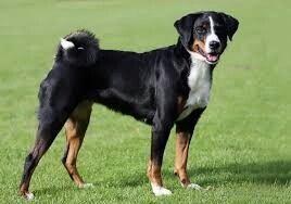 Appenzeller Sennenhund Porody Sobak Sobaki