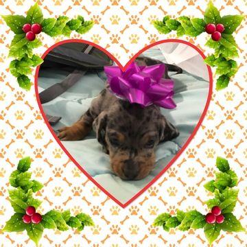 Dachshund Puppy For Sale In Pueblo Co Adn 58416 On Puppyfinder