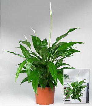 Spathiphyllum Im 60 Cm Hoch 1pflanze Pflanzen Einblatt Und Pflanzen Im Badezimmer