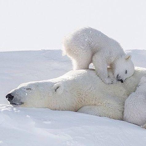 31 Ideas De Osos Osos Oso Polar Osos Polares