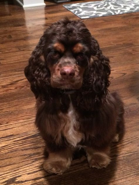Cutest chocolate and tan cocker #cockerspanielchocolate