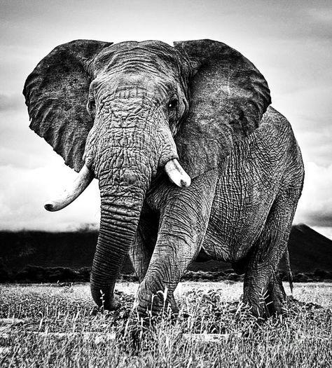 Beautiful Elephant Black And White 33 ...
