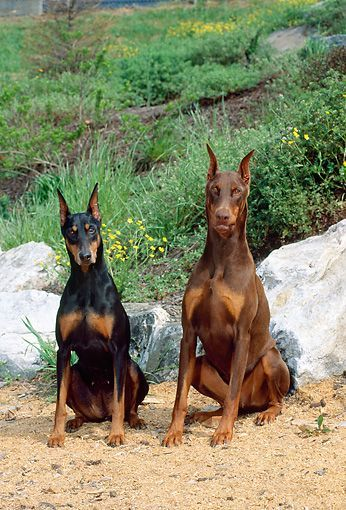 Dog 01 Ce0179 01 Female And Male Doberman Pinschers Sitting By