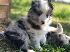 Border Collie Puppies Border Collie Puppies For Sale Beaudesert