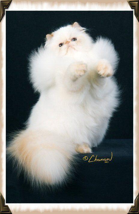 Carry Me Human C Chanan Tag A Catlady Persiancat Persian Cats Pet Catlover Persiancatphilippines Philippines Pretty Cats Cats Persian Cat