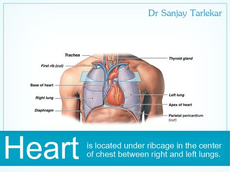 Heart is located under ribcage in the center of chest between right ...