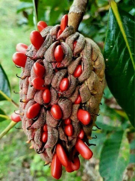 Rare Japanese Raisin Tree Hovenia Dulcis 8 seeds  UK SELLER