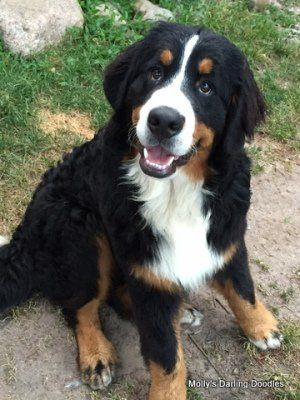 Imported Bernese Mountain Dog From Hungary Bernese Dog Bernese Mountain Dog Mountain Dogs