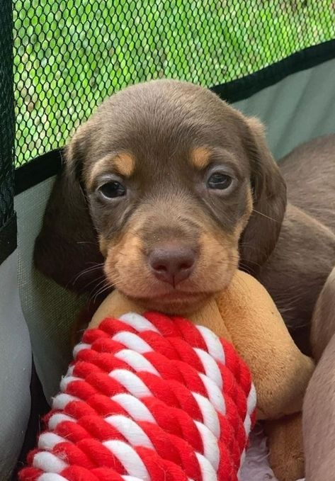 As a dog lover, you must know about dachshunds the cutest dogs on the earth. They have been being friends of human for over 18,000 years. Even, there are many scientists confirm that dachshunds are #dog #puppy #Labrador