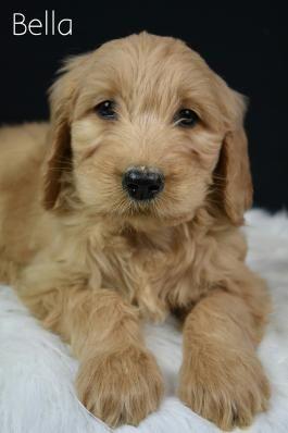 Goldendoodle Puppies for Sale | Lancaster Puppies | Children