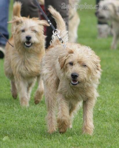 Dutch Smoushond Scruffy Dogs Dog Breeds Mountain Dog Breeds