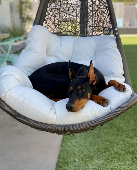 Quarantine and chill is the 2020 event of the year for dogs worldwide They get to spend their entire day with their. Dog Bucket List, Doberman Pinscher Dog, Doberman Love, Best Dog Training, Baby Dogs, Doggies, Lab Puppies, Service Dogs, Beautiful Dogs