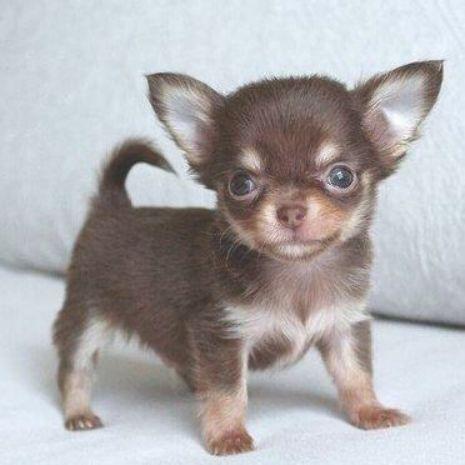 Cute Chihuahua Barking Video Compilation Cutesypooh Cute