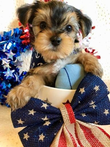 Yorkshire Terrier Dogs For Sale In United States Oklahoma Lawton