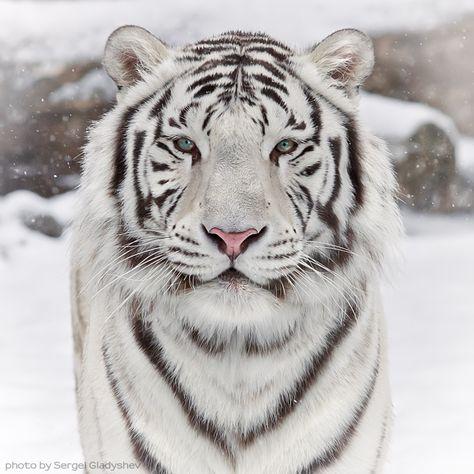 Siberian White Tiger My favorite animal