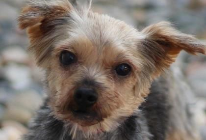Petango Com Meet Dora A 7 Years 1 Month Terrier Yorkshire Available For Adoption In Colorado Springs Co Yorkiepuppyrescu Yorkie Puppy Puppy Adoption Dogs