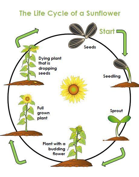 Life Cycle Of A Plant Unit Plants Unit Plants Life Cycle Activities Plant Life Cycle