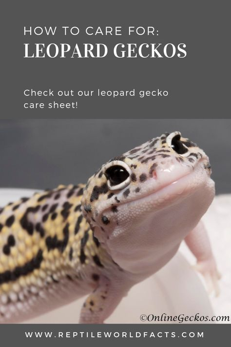Check Out Our Article To Learn How To Properly Care For A Pet Leopard Gecko Leopard Geckos Make Great Leopard Gecko Terrarium Leopard Gecko Leopard Gecko Cute