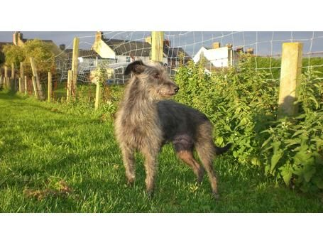Pin By Linzi Atherton On Benji S Whiplington Whippet X Bedlington Terrier Board In 2020 Bedlington Whippet Whippet Puppies Puppies For Sale
