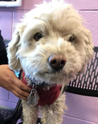 Animal Id T37636040 R Nspecies Tdog R Nbreed Tpoodle Standard Mix R Nage T1 Year 3 Days R Ngender Tmale R N Dog Adoption Beautiful Dogs Dogs And Puppies