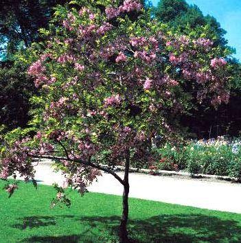 Robinia Hispida Tree Google Search Estructura De Jardin Plantas Hispida