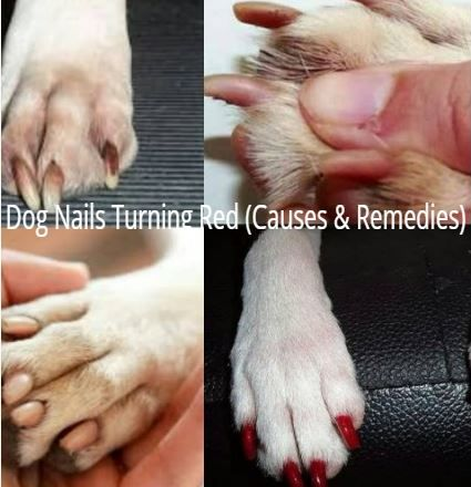 Dog Nails Turning Red Causes Remedies Dog Nails White Toenails Nail Care Tips