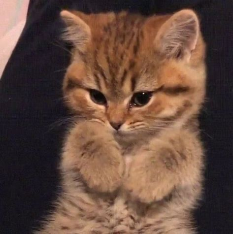 Animal; Pet; Cat; Family Member; Kitten;Pet Cats Photography; Cute Cat;Obese Cat; Tabby Cat; Shorthair Cat; Longhair Cat;Persian Cat; Fold Ca