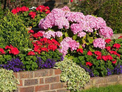 Co Posadzic Obok Hortensji Annual Plants Plants Growing Hydrangeas