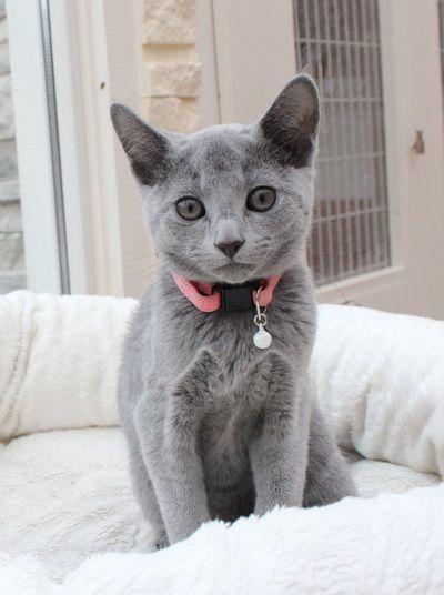 Foto S Fotografiacat Pretty Cats Grey Cats Russian Blue