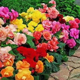 Begonia Tubers For Sale Buy Flower Bulbs In Bulk Save In 2020 Flower Pots Bulb Flowers Flower Seeds