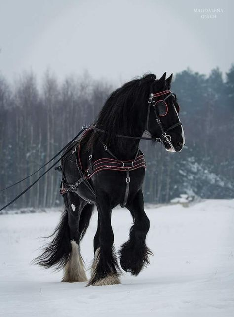 Shire Stallion -- Who has ridden a Shire horse before? It's something I've always wanted to do! Big Horses, Work Horses, Black Horses, Horse Love, Black Stallion Horse, Horses In Snow, Andalusian Horse, Friesian Horse, Arabian Horses