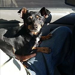 London Kentucky Chihuahua Meet Jax A For Adoption Https Www Adoptapet Com Pet 21766655 London Kentucky Chihuahua In 2020 Dog Adoption Pets Pet Adoption