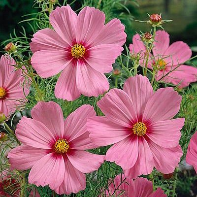 Cosmos Seeds Gloria Beautiful Flowers Photography Flower Landscape Flowers Photography