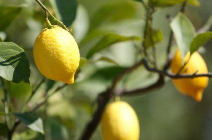 Planter Un Citronnier Avec Images Planter Citronnier Arbre Fruitier Citronnier