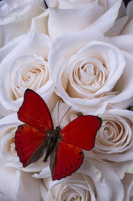Red Butterfly Among White Roses