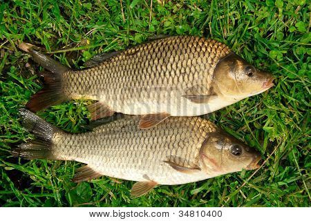 Freshwater Fish Carp Catch In Green Grass Background Poster In 2020 Green Grass Background Grass Carp Freshwater Fish