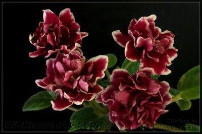 Przedmioty Uzytkownika Fitepsa Allegro Pl African Violets Perennial Flowering Plants Herbaceous Perennials
