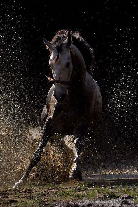 Cheval Chevaux Mammifère équidé équestre équitation
