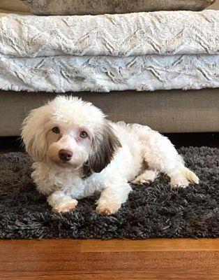 New York Ny Havanese Meet Ella A Dog For Adoption Pets Kitten Adoption Funny Animals