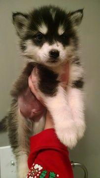 Alaskan Husky Puppy For Sale In Virginia Beach Va Adn 40947 On